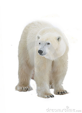 Free Polar Bear Stock Images - 21614644