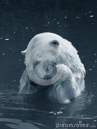 Free Polar Bear Royalty Free Stock Images - 2195479