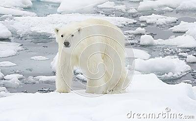 Polar Bear in icy winter landscape.