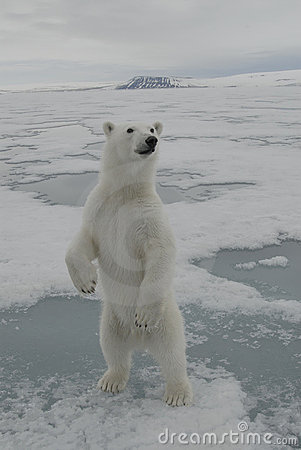 Free Polar Bear Stock Image - 2902441