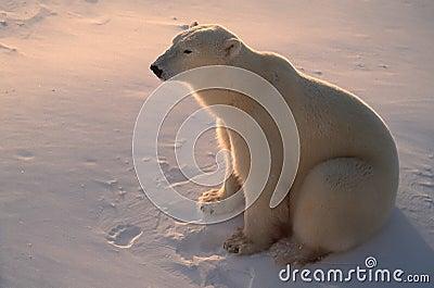 Polar bear in  Arctic,backlit by low sunlight