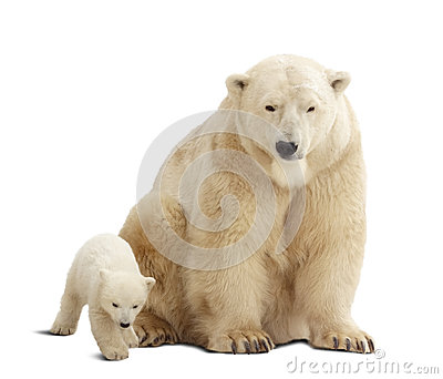 Polar bear with baby over white