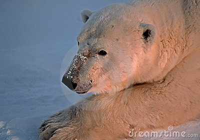 Polar bear in Canadain Arctic