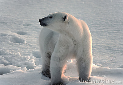 Polar bear in Canadian Arctic