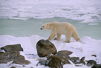 Polar bear in Canadian Arctic