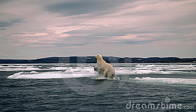 Polar bear in Canadian Arctic,spring breakup
