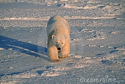 Polar bear in cold blue Arctic light