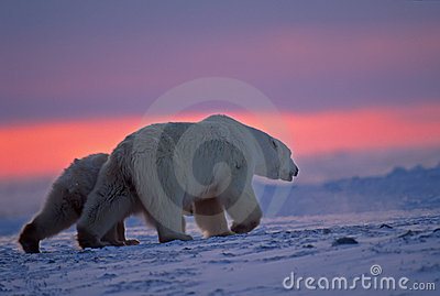 Polar bear and cub in Arctic sunset