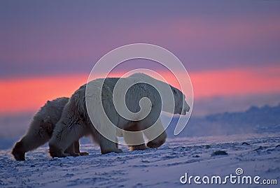 Polar bear and cub in Arctic sunset