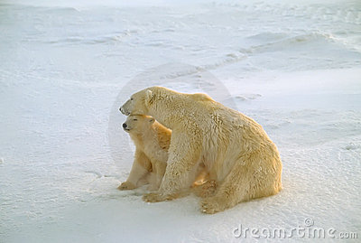 Polar bear and cub in Arctic wind