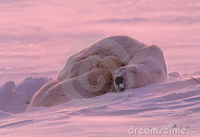 Polar bear cub sleeping with mother