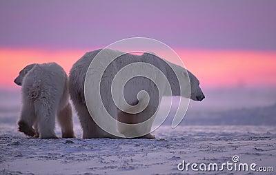 Polar bear and cub at sunset