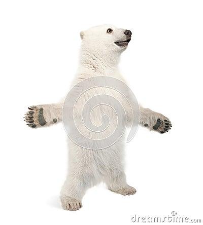 Polar bear cub, Ursus maritimus, 6 months old
