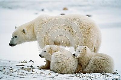 Polar she-bear with cubs.