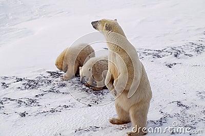 Polar bear and cubs in Canadian Arctic