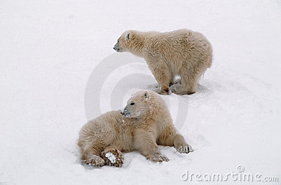 Polar bear cubs in Canadian Arctic