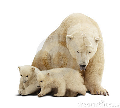 Polar bear with cubs. Isolated over white
