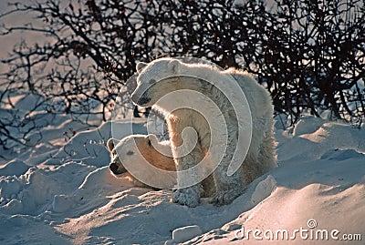Polar bear cubs in snow bank, backlit