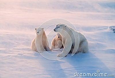 Polar bear and cubs in weak Arctic sunlight