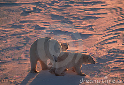 Polar bear family back lit by low Arctic sunlight