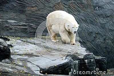 Polar Bear, friendly animals at the Prague Zoo.