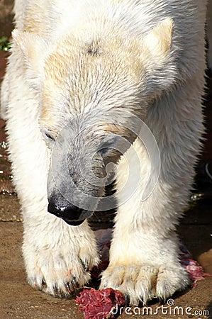 Polar Bear Having Diner