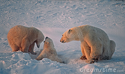 Polar bear with her cubs