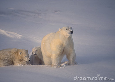 Polar bear with her cubs low cold Arctic sunlight)