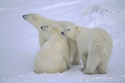 Polar bear with her yearling cubs