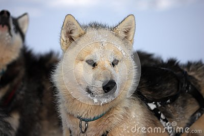 Polar-bear hunter sled dog with ice in its beard