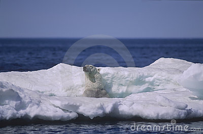Polar bear in ice floe