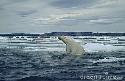 Polar bear on ice floe in Canadian Arctic