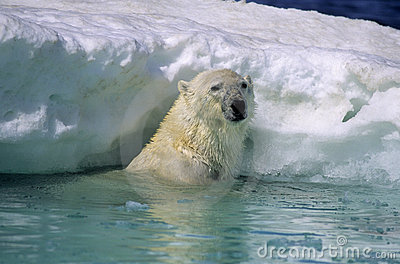 Polar bear in ice flow