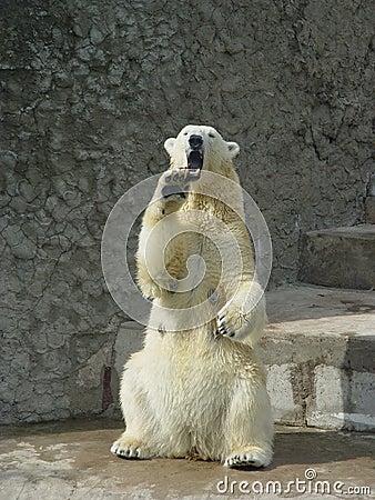 Free Polar Bear In The Zoo Stock Image - 1818741