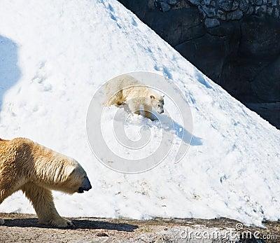 He polar bear with kid