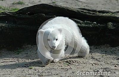 Polar bear Knut Editorial Photography
