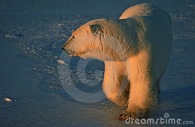 Polar bear in low Arctic sunlight