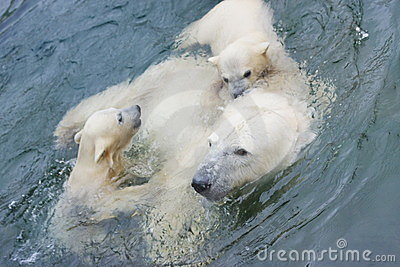 A polar bear is in the Moscow zoo