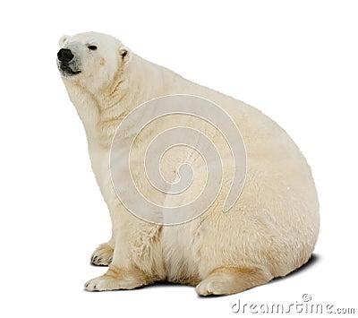 Polar bear.  over white