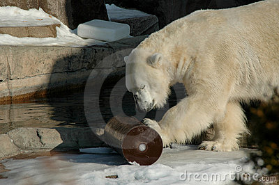 Polar Bear Playtime