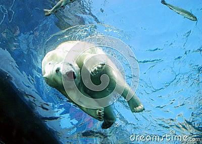 Polar Bear Plunge Dive Water