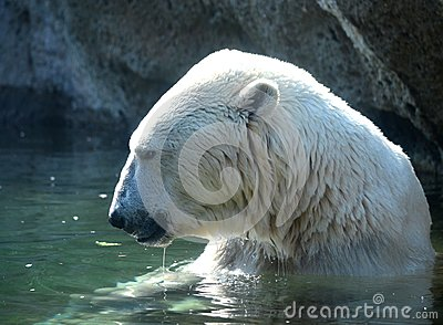 Polar Bear in a Pond
