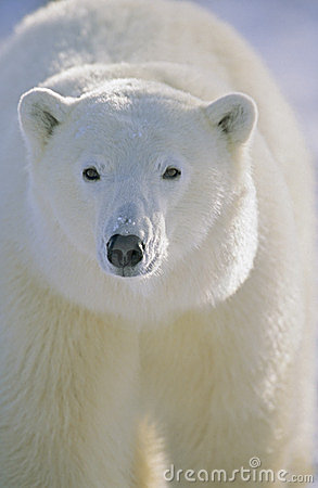 Polar Bear portrait. Churchill, Canada