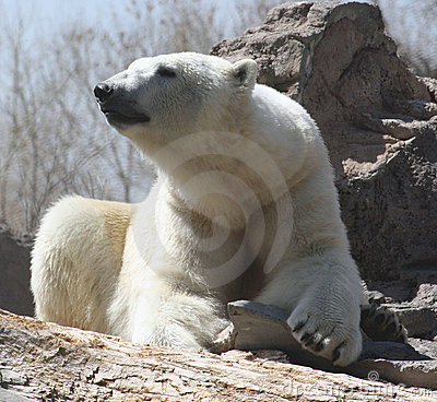 Polar bear at rest