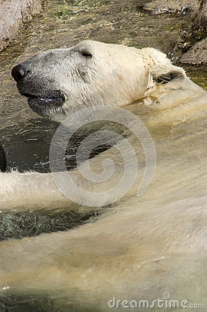 Polar Bear Resting in Water