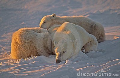 Polar bear sleeping with her cubs