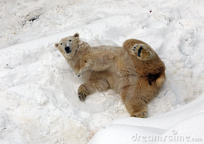 Polar Bear On The Snow In Zoo Stock Image - Image: 12921171
