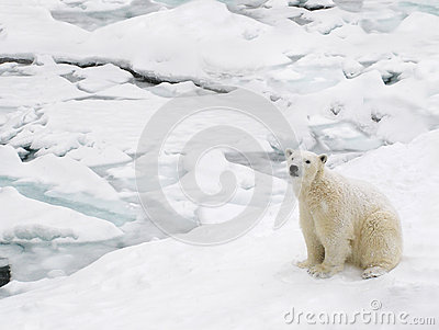 Polar bear on snowy day