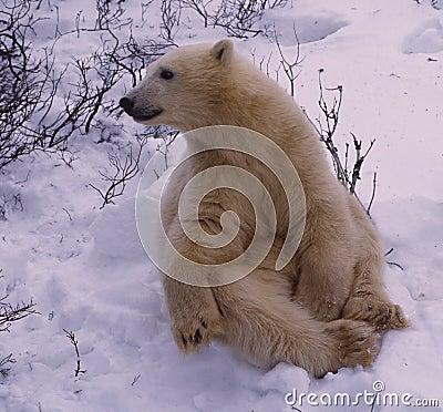 Polar bear in spring ice floe