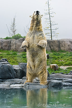Free Polar Bear Standing Upright Stock Photography - 9263772